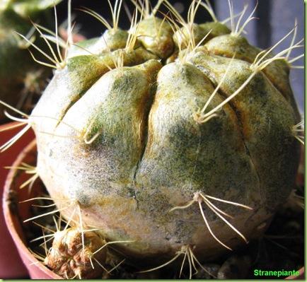 gimnocaligium con polloncino e ragnetto