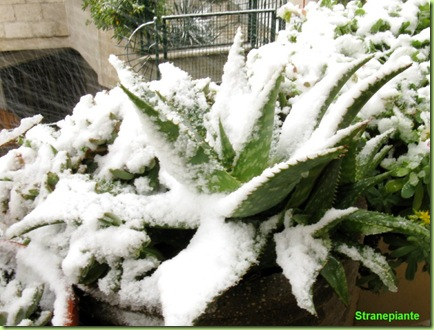 Aloe saponaria neve