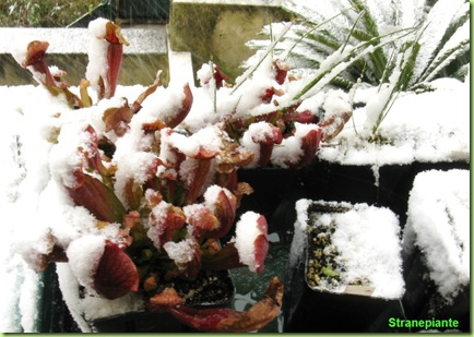 piante carnivore sotto la neve a roma