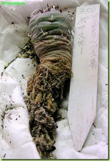Turbinicarpus polaskii giappone