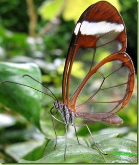 farfalla trasparente Hortus Botanicus amsterdam