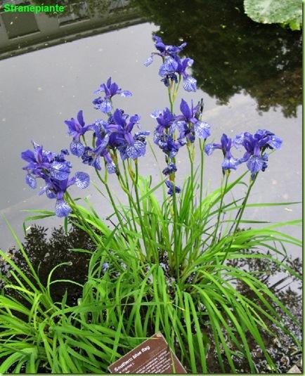 iris virginica southern blue flag amsterdam