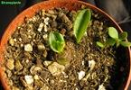 bulbo-piantato-scilla-violacea-1