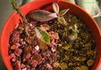 bulbo-piantato-scilla-violacea-2