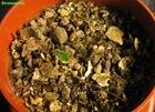 bulbo-piantato-scilla-violacea-3