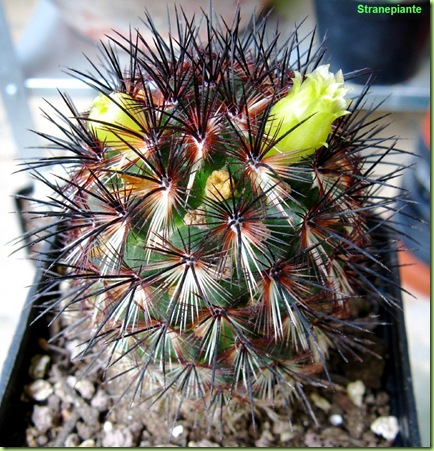 Mammillaria_microhelia_prima-fioritura