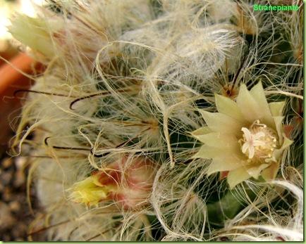 mammillaria-bocasana-fiori-aperti-chiusi