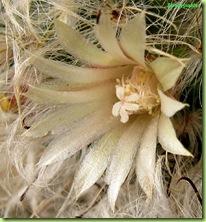 mammilaria-bocasana-foto-fioritura