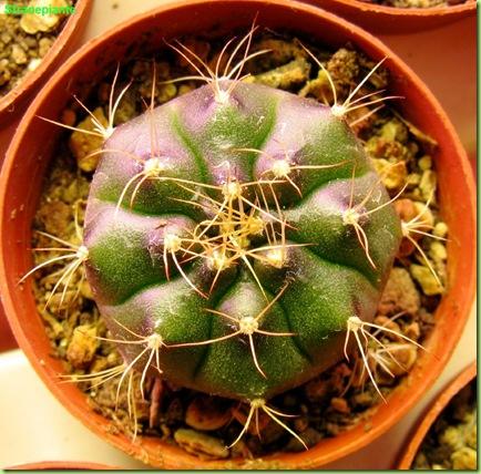 Gymnocalycium damsi aprile 2009