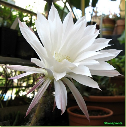 Echinopsis_fiore_subdenudata_bloom