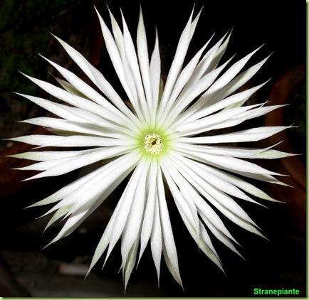 setiechinopsis_mirabilis_fiore