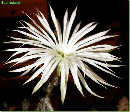 fiore-setiechinopsis-mirabilis