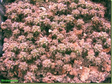 12 gennaio 2009 Gymnocalycium seedling
