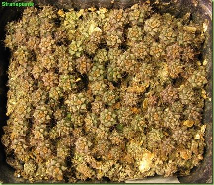 2 febbraio 2009 Gymnocalycium damsii x stenopleurum