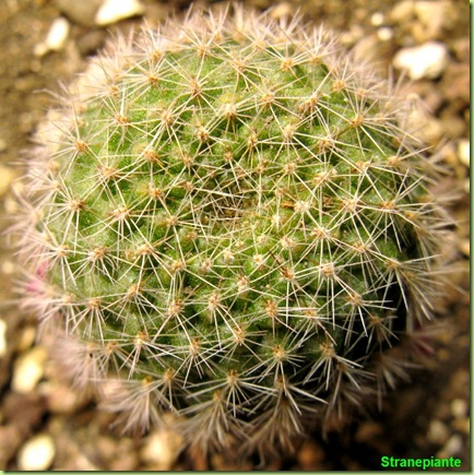 rebutia da seme in fiore 2010