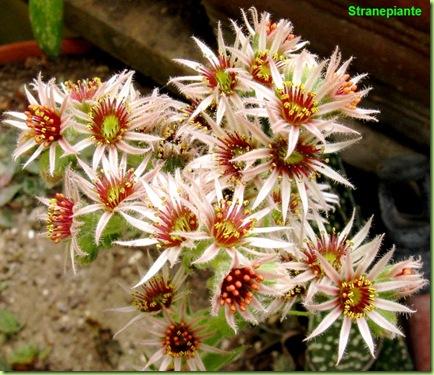 Sempervivum fiori