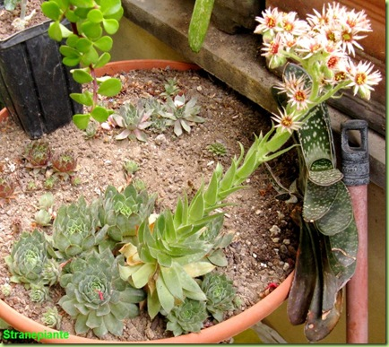 Sempervivum pianta e fiori