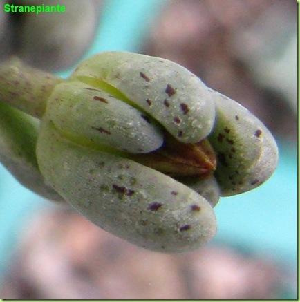 Lenophyllum guttatum bocciolo