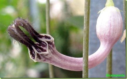 ceropegia linearis fiore