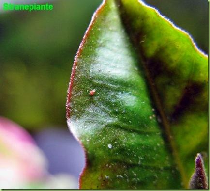Pedilanthus tithymaloides con tetranychus urticae ragnetto rosso