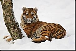 ee 97 01_Iris_1 amur tigers