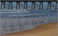 1._Oystercatchers Taking Flight