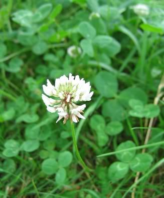 http://lh5.ggpht.com/_qv0h4lCJBL0/S_i8IXyH0VI/AAAAAAAAAEI/JO8-bsz1l9o/Trifolium-repens-co3la.jpg
