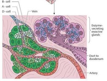 histo pankreas