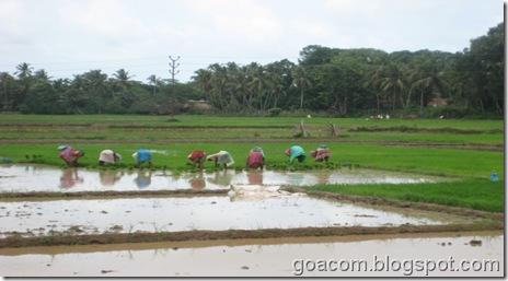 Goan farmers