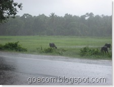 Raining in Goa