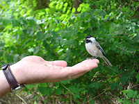 At Elizabeth Morton NWR in Sag Harbor, Long Island: Black-capped Chickadee eating sunflower seeds from Bob's hand