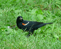 Red-winged Blackbird - gorgeous male