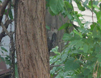 BRAND NEW BABY RED-BELLIED WOODPECKER!!