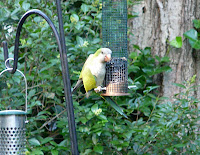 Monk Parakeet in the yard on June 14, 2009