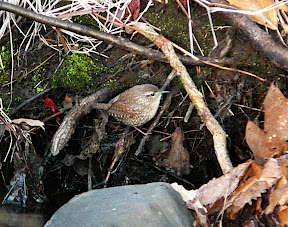 Cooperative Winter Wren - one of many today