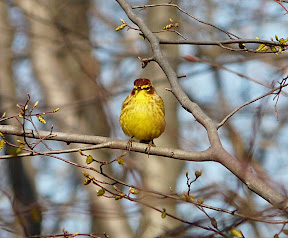 Stunning Palm Warbler, Garret Mountain, 4/9/11