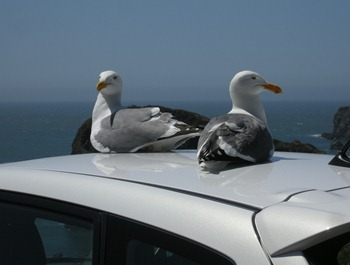 seagulls like the white cars