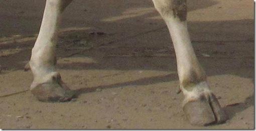 foto-sapi-berkaki-lima-di-sampang-madura
