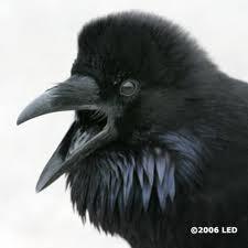 Power Animal Raven Cover