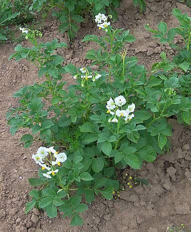 external image leo-mic-Solanum-tuberosum-545.jpg