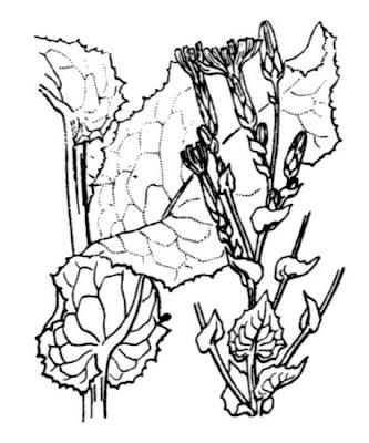 Lactuca sativa L.