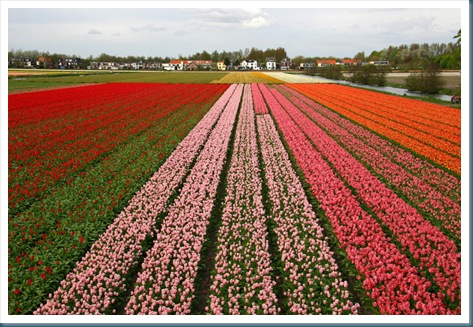 tulip photo by