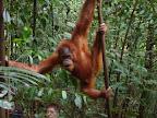 Un jeune orang outang