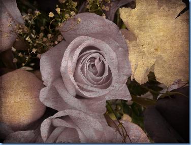 Rose aged