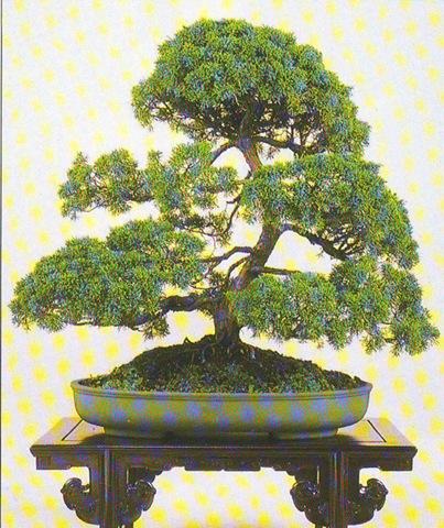 [juniperus chinesis[2].jpg]