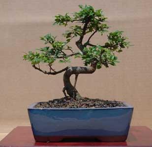 [zelkova-carpinifolia-zelkov[2].jpg]