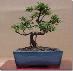 zelkova-carpinifolia-zelkov