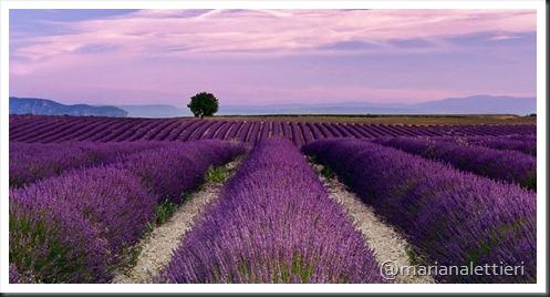 lavender[1]