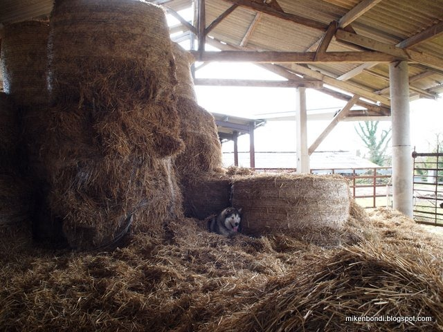 Munson in the hay bales