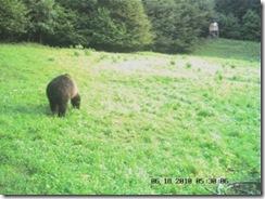 L'animale è appena sbucato dal bosco che sta alle sue spalle (foto: Riserva di caccia di Verzegnis)